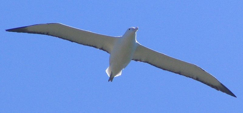 File:Northern Royal Albatross Taiaroa Head Nov 2008 2.jpg