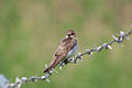 Northern rough-winged swallow 6950.jpg