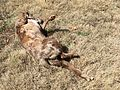Nothing Like a Good Roll in the Grass (33523107545).jpg