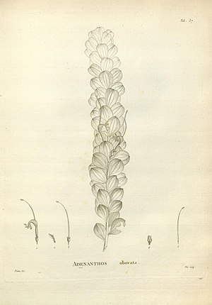 an ancient pencil drawing of leaf and flower parts of a plant