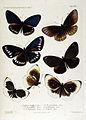 NovaraExpZoologischeTheilLepidopteraAtlasTaf41.jpg