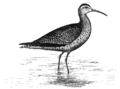 Numenius borealisAEP14LA.png