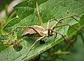 Nursery web spider Pisaura mirabilis (31092959918).jpg