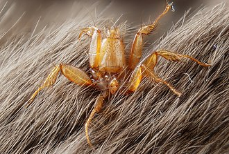 Nycteribiidae - Image: Nycteribiidae (parasite fly living on bats) (5021769088)