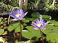 Nymphaea capensis (5675272511).jpg