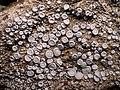 Ochrolechia parella (L.) A. Massal 409078.jpg