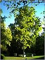 October University Freiburg Plaza - Master Botany Photography 2013 Gingko - panoramio.jpg