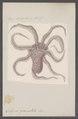 Octopus granulatus - - Print - Iconographia Zoologica - Special Collections University of Amsterdam - UBAINV0274 090 03 0009.tif