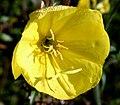 Oenothera biennis ENBLA08.jpg