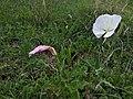 Oenothera tetraptera (habitat).jpg