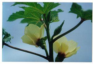 Okra flowers and flower bud