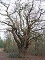Old oak pollard on Warren Hill - geograph.org.uk - 101639.jpg