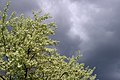 Olive tree (2576894114).jpg