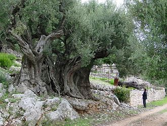 Ithaca - Olive tree of Ithaca that is claimed to be at least 1500 years old.