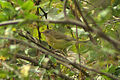 Oporornis agilis Carroll County MD 1.jpg