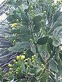 Opuntia brasiliensis1.jpg