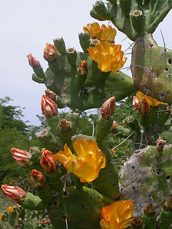 Opuntia elata (flowers and pads).jpg