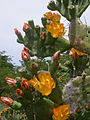 Opuntia elata (flowers and pads).jpg