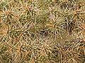 Opuntia fragilis 02 ies.jpg
