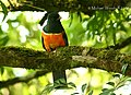 Orange-bellied Trogon (2592521271).jpg