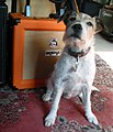 Orange Amp, Barnyard-Blues dog meets.jpg