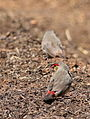 Orange breasted waxbill, Amandava subflava, at Suikerbosrand Nature Reserve, Gauteng, South Africa (23080358430).jpg