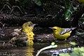 Orchard Oriole (female) & Blue-winged Warbler (bathing) Boy Scout Woods High Island TX 2018-04-11 12-51-46 (27932413078).jpg