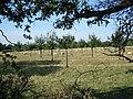 Orchard at Aston-sub-Edge - geograph.org.uk - 52593.jpg