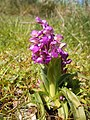 Orchis morio - Sauzon.jpg