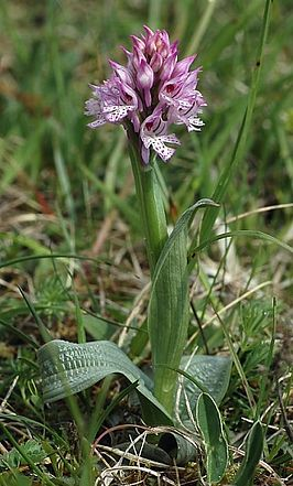 Orchis tridentata 05 mg-k.jpg