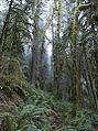 Oregon forest and mist.jpg