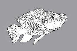 Oreochromis mossambicus (tilapia mosambica).jpg
