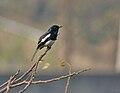 Oriental Magpie Robin (Copsychus saularis) singing on Vilaiti Siris (samanea saman) in Kolkata W IMG 4534.jpg