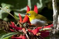 Oriental White-eye (2) by N.A. Naseer.tiff