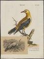 Oriolus auratus - 1700-1880 - Print - Iconographia Zoologica - Special Collections University of Amsterdam - UBA01 IZ16400175.tif