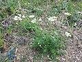 Orlaya grandiflora sl10.jpg