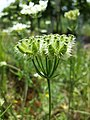 Orlaya grandiflora sl6.jpg