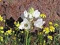 Ornithogalum thyrsoides-P9210031.jpg