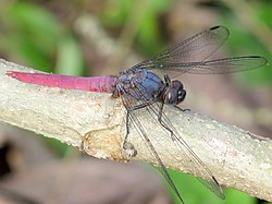 Orthetrum pruinosum male by kadavoor.JPG