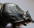 Oryctes nasicornis 1379.JPG