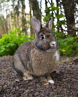 Rabbit Mammals of the family Leporidae