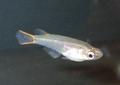 Oryzias mekongensis male.png