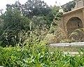 Oryzopsis miliaciea a Montjuïc.jpg