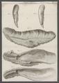 Ostrea virginica - - Print - Iconographia Zoologica - Special Collections University of Amsterdam - UBAINV0274 074 08 0016A.tif