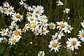 Ox-eye daisies in the meadow - geograph.org.uk - 1348814.jpg