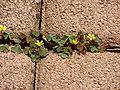 Oxalis corniculata in a cobblestone column.JPG