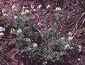 Oxytropis pilosa 2 eF.jpg
