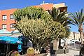 Pájara Morro Jable - Plaza Pescadores - Euphorbia abyssinica 02 ies.jpg