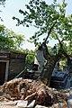 Père-Lachaise - Division 4 - arbre déraciné 05.jpg