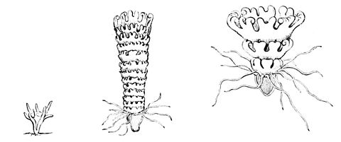 PSM V13 D333 Scyphistoma and strobila.jpg